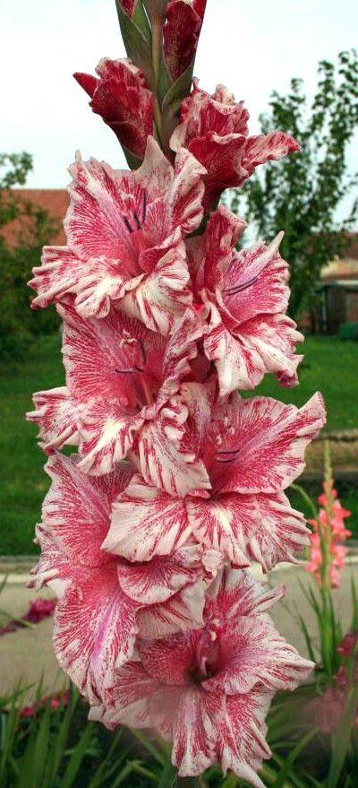 Gladiolus. Order:Asparagales Family:Iridaceae Subfamily:Ixioideae Tribe:Ixieae Genus:Gladiolus