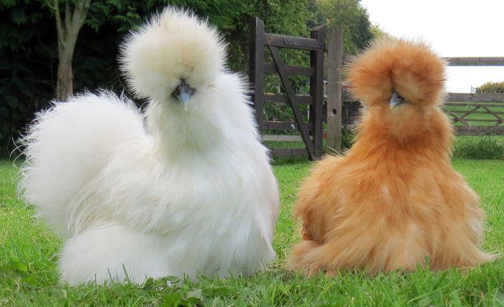 Poule d'ornement : Poule Soie - animaux vivants La Poule-soie est l'une des races de poules les plus anciennes. Le plumage de la Poule-soie est rare dans le monde des poules : abondant, soyeux et mou. Le plumage a été comparé a de la soie et à de la fourrure. Ces plumes ne sont pas équipées de barbules et de hampe rigides et sont similaires au duvet des autres oiseaux. Le résultat est une apparence soyeuse et toute en volume, ressemblant presque à des poils.