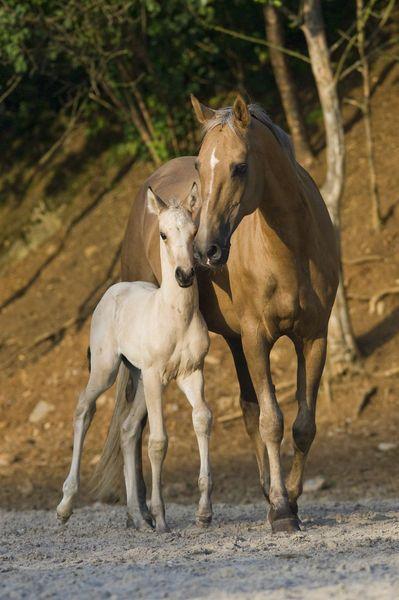 Akhal Teke mare and foal