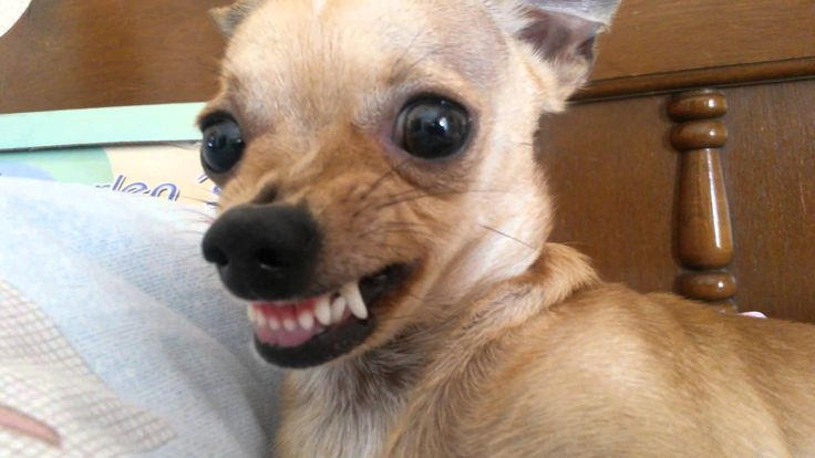 perrito chihuahua enojado