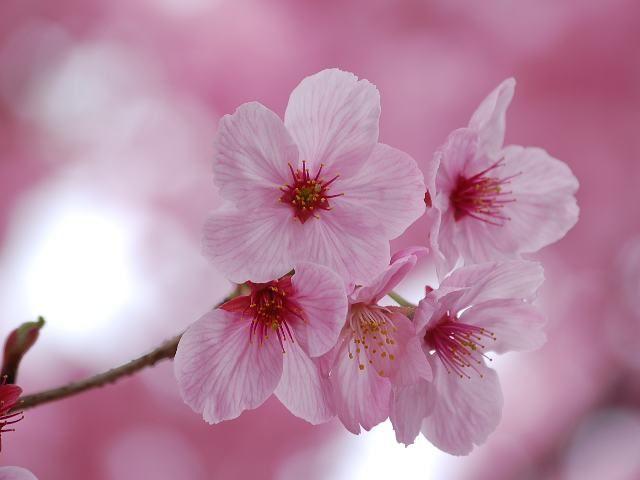 桜 - 陽光桜(ヨウコウザクラ)はバラ科サクラ属の落葉小高木である。 「里桜」の天城吉野(アマギヨシノ)と寒緋桜(カンヒザクラ)との交配によって作出された。