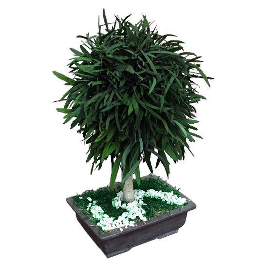 Pomisor Nicoly Vert Stabilizat  #nicoly #vert #preserved #tree #plante #stabilizate #bucuresti #buy #online