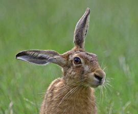 2012-03-08-HSI_Hare_brown_ears_270x224_AndyFisher.jpg