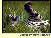 Yaguarete  Es un mamífero. Las crías viven con la madre durante 2 años mientras aprenden a cazar y pescar.   Son carnívoros alimentándose de peces, reptiles, anfibios, y de presas más grandes como el carpincho, tapir, venado.    Vive en el denso bosque y también  en el  campo abierto.     Necesita vivir en lugares poco alterados por la civilización, antes fue común en todo el Paraguay, ahora es muy raro en la parte oriental.