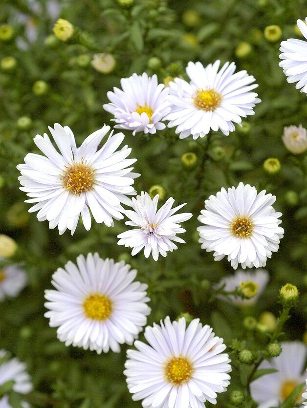 White Aster Perennial Blooms C23965d5 In 2020 Flowers Perennials Perennials Shade Flowers