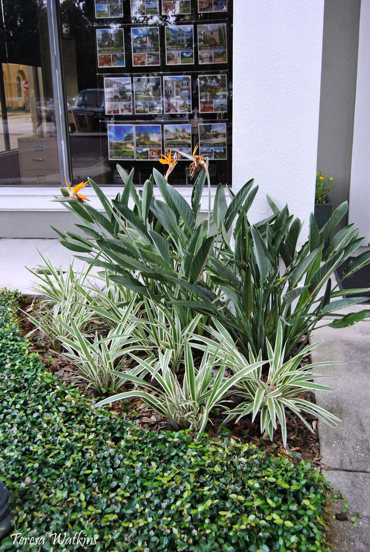 birds of paradise  aztec grass  and asiatic jasmine in the shade