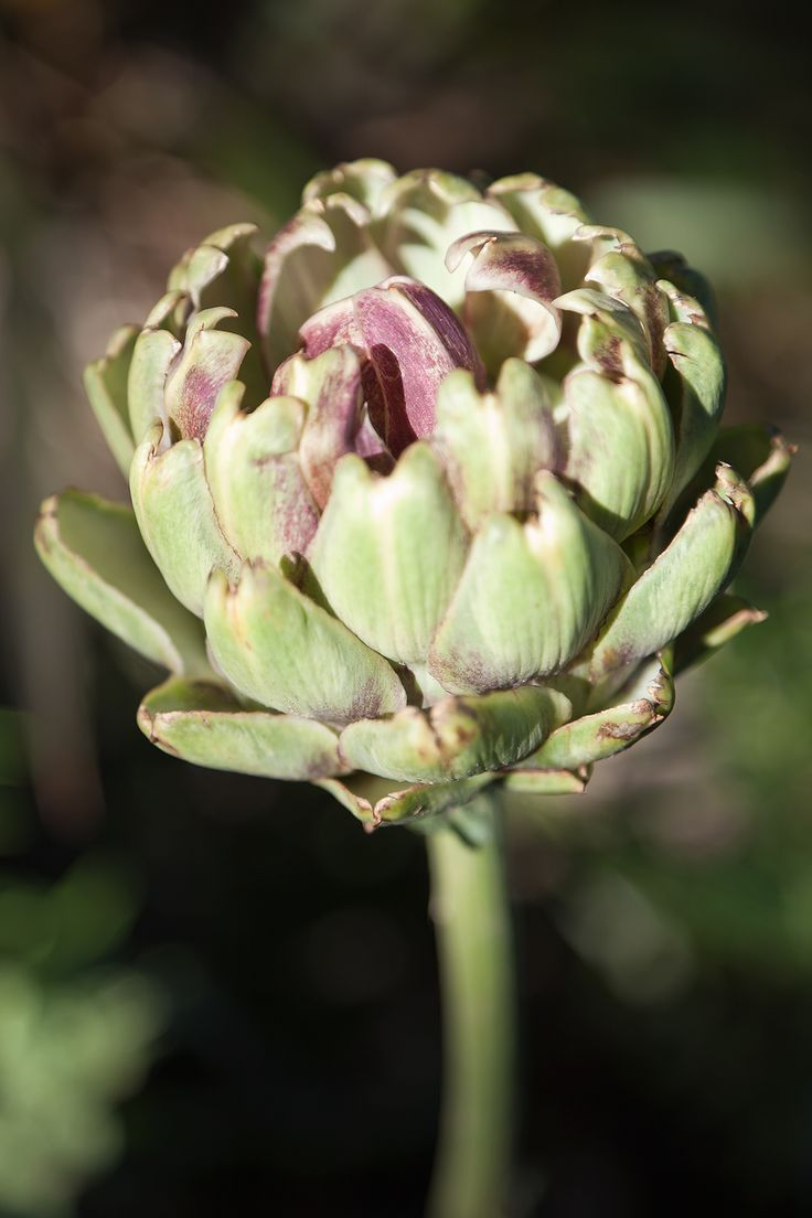 Purple flowering Globe Artichoke