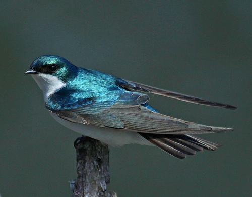 Tree Swallow (Tachycineta bicolor) Jim Allen#Bird#Photography
