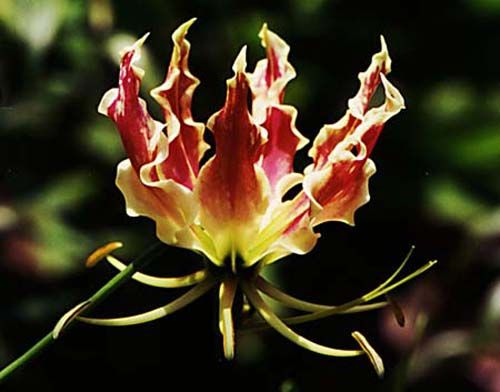 Gloriosa superba, Flame Lily is a striking tuberous climbing plant with brilliant wavy-edged yellow and red flowers.