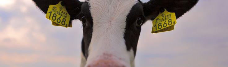 """Vandaag komen zo'n 200 boerinnen vanuit het actiecomité Kalverliefde bijeen om een brief aan verschillende parlementsleden aan te bieden. Doel? """"De motie van Marianne Thieme, om kalveren langer bij de koe te laten, moet van tafel!"""" Ik stelde vijf vragen aan Karin van der Toorn, één van de initiatiefneemsters van deze actie."""