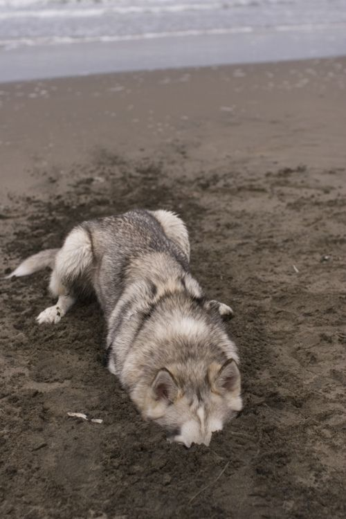 : Animals, Moonmoon, Dogs, Funny, At The Beach, Husky, Wolves, Moon Moon
