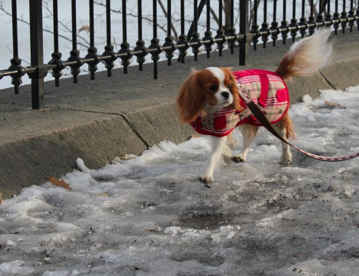 Tessie In Central Park Wearing Her Canine Style Coat Http Caninestyles Com Cavalier King Charles Spaniel King Spaniel Cavalier King Spaniel