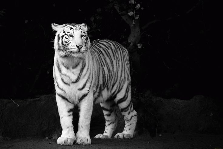Tan bílý tygr Zvířata