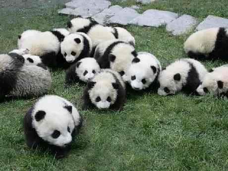 横浜大世界で「パンダワールド」-子パンダの生育の様子を上映