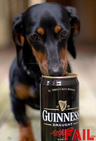 157 Best Drinking Doxies Images On Pinterest Dachshunds