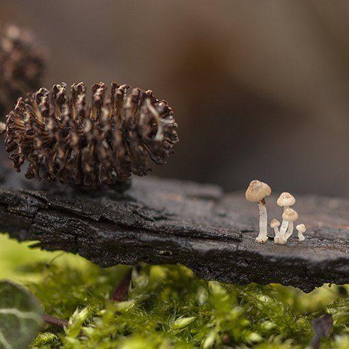 Really?! This tiny? Yes. This tiny :-) #mushroom #mycology #fungi #fungus #paddestoel #paddenstoelen #natuur #macro #netherlands #staatsbosbeheer_paddenstoelenprikbord #staatsbosbeheer #natuurmonumenten #Macro_vision #Macro_Perfection #pocket_macro #macro_mood #macro_brilliance #igbest_macros #top_macro #bns_macro #macro_clique #igglobalclubmacro
