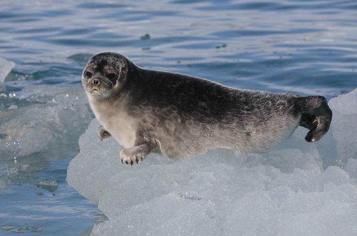 ringed seal (Pusa hispida, gyűrűs fóka)