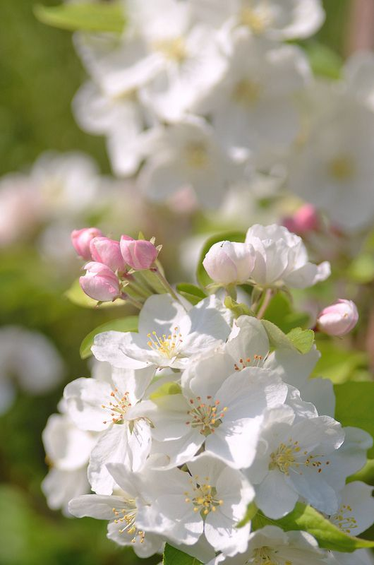 Blossoming trees in the orchard in spring.  A favorite memory!