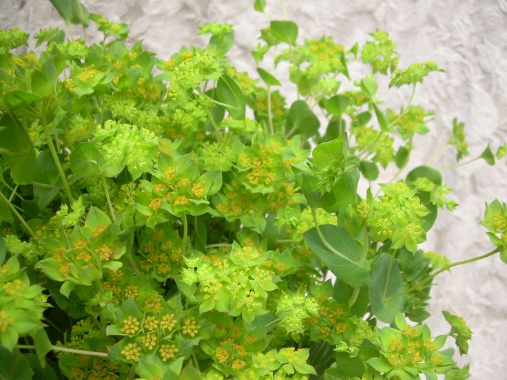 Bupleurum is used as greenery and a filler in bouquets.  It gives arrangements a nice flowing feeling without adding extreme texture.  The stems hold shape well.