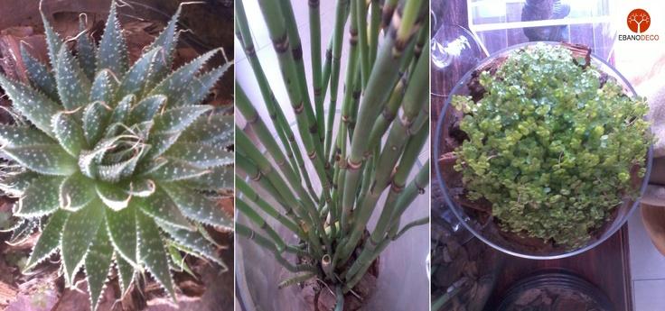 Plantas en vidrio en EbanoDeco. Alonso de Córdova 3772