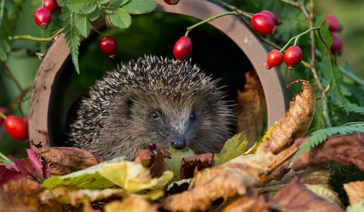 When do Hedgehogs Hibernate – Hedgehogs are to be found in almost every part of Europe and Britain except in some areas of Scotland. The Erinaceus Europaeus is the scientific name for the British Hedgehog which belongs to the same family found in other parts of Europe known as Erinaceidae. Hedgehogs are nocturnal animals and …
