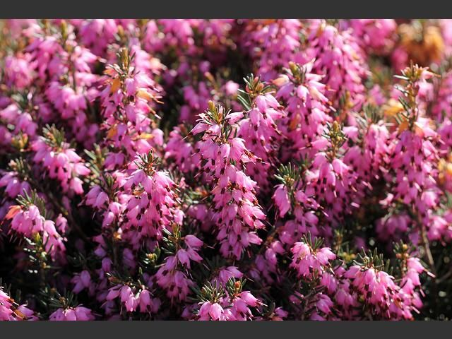 Ericas love the cold climate and have a range of different colours to suit any garden!
