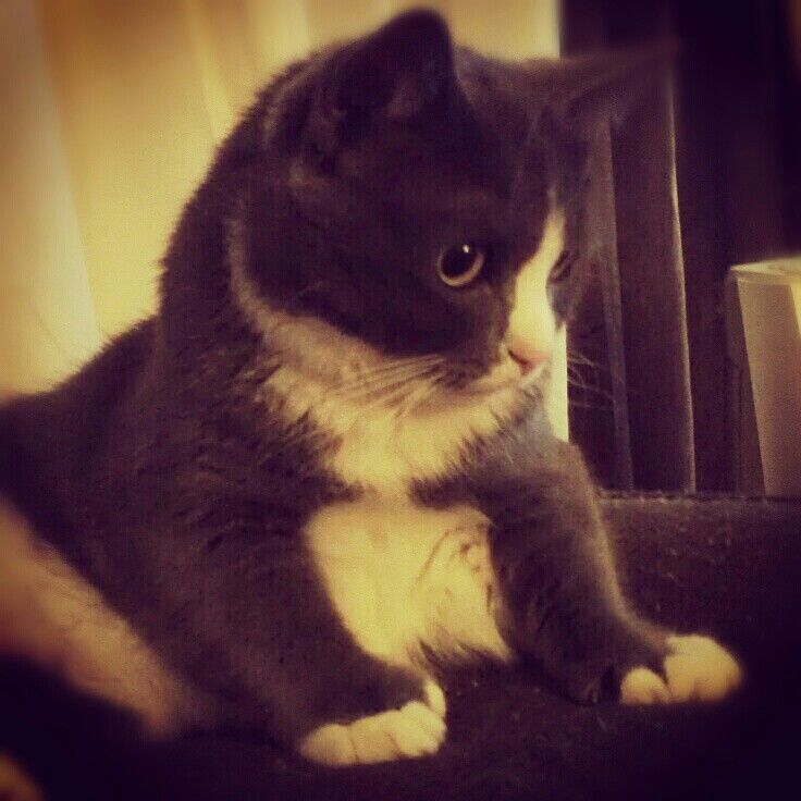 My baby, cutest dwarf cat around   Kittiessss and other ...