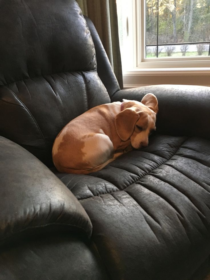 A nice relaxing nap after a day of doing nothing : beagle