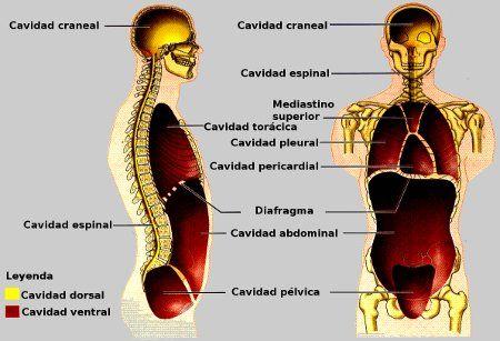 Cavidades mayores del cuerpo