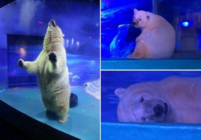 """Centenasde pessoas param para tirar fotos com Pizza, um urso polar que vive em uma pequena jaula no aquário instalado dentro de um shopping em Guangzhou, na China. A alegria dos visitantes contrasta com a tristeza do animal, quevem sendo apelidado como o""""urso polar mais triste do mundo"""". O local, chamado Grandview Aquarium, abriga outras espécies, que, segundo a Animals Asia, uma ONGem defesa dos animais, também sofrem com os cativeiros, mas nenhum como Pizza. Ursos polares precisam de…"""