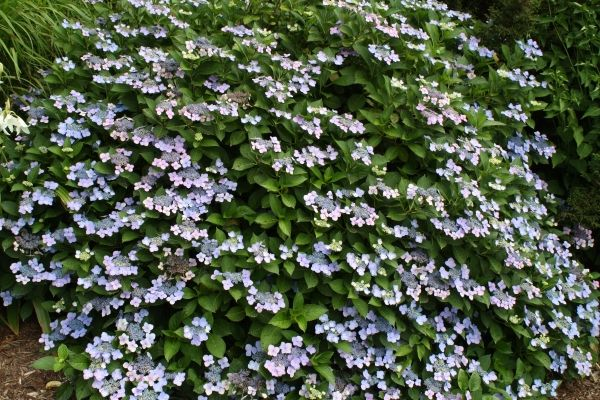 Beaute Vendomoise French Hydrangea for sale buy Hydrangea macrophylla f. normalis 'Beaute Vendomoise'
