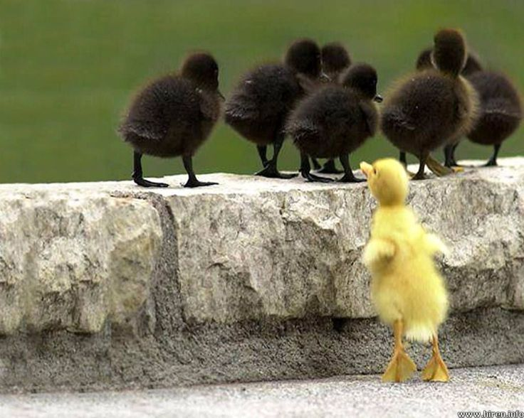 ugly duckling - Google Search