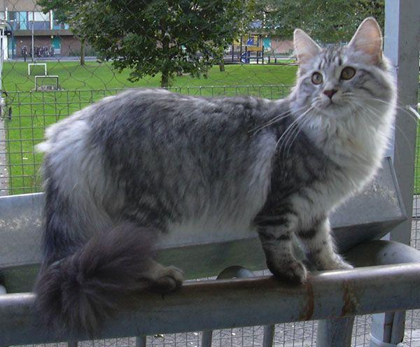 #MaineCoon #Black #Silver #Mackerel #Cats Asana's Awann*Cadenza