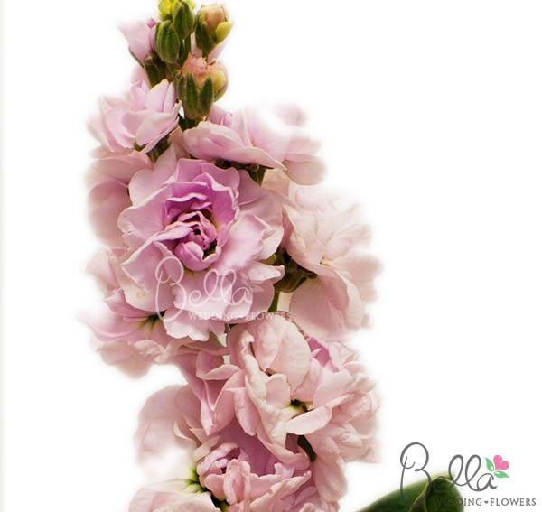 Our Light Pink Stock flowers are a great filler to accent floral arrangements. We offer our bulk stock flowers in a variety of vibrant colors like pink, red, lavender, yellow, assorted and more! We offer free shipping any stock flower order. Order or buy fresh cut stock and save with farm direct pricing! $99