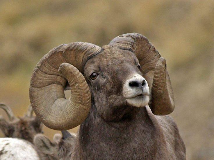 Big-horned sheep ram. Desert warrior