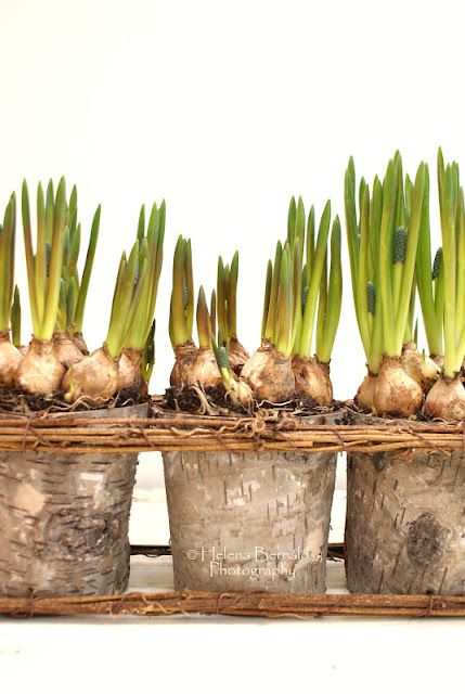 Papery bulbs ready for a spring display