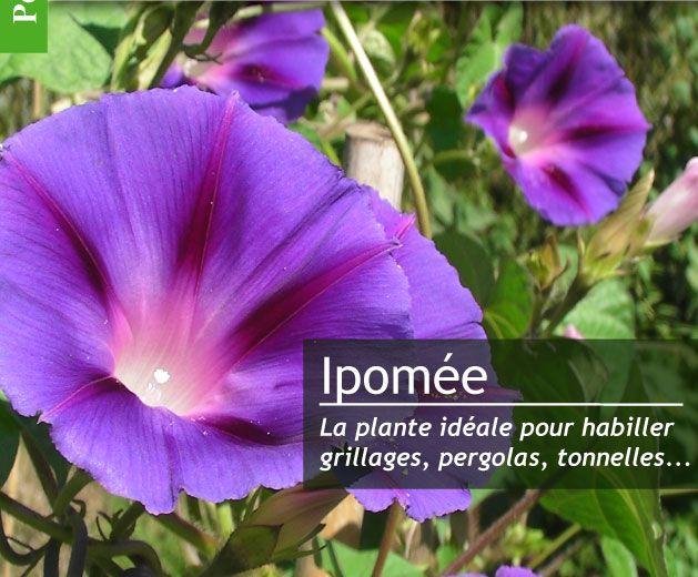 Mettre des ipom es dans son jardin magazine de jardinage for Calendrier jardin