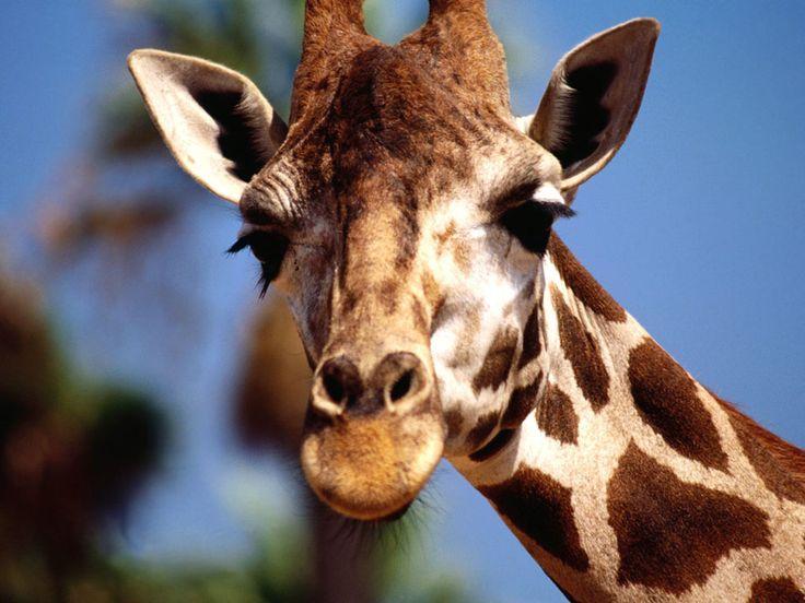 Nature Giraffe Wallpaper HD