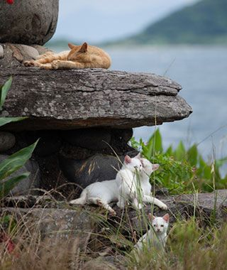 Tashirojima Island~Cats outnumber the human residents on the Island. In the past, the islanders raised silkworms for silk, relying on stray cats to control the mouse population. The fishermen would feed the cats that hung around the inns, & a kinship developed, aided by a local belief that looking after cats brings good luck & fortune. The island is now a popular tourist destination, complete with shrines to the feline population & architecture shaped like cats. —Emma Sloley