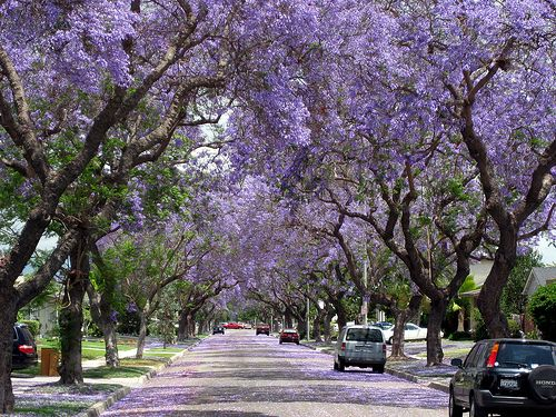 Jacaranda...Queretaro is full of these beautiful trees...when the leaves fall off the cobble stone streets are covered in purple...beautiful!!