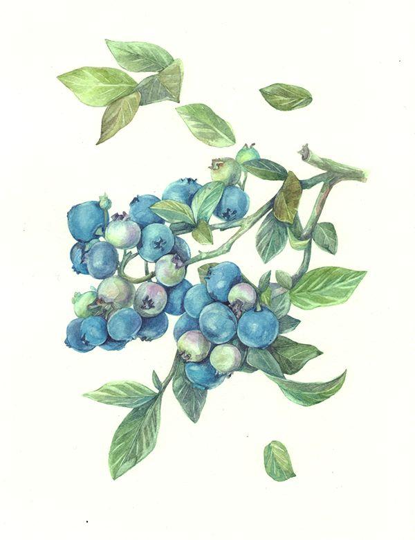 blueberries watercolor on Behance