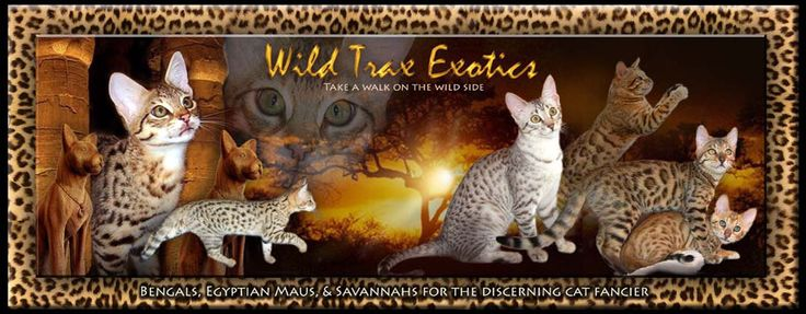 Bengals, Egyptian Maus, and Savannah Kittens for sale by Wild Trax ...