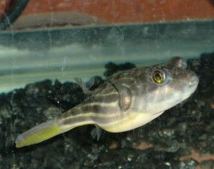 143 best images about puffer fish on pinterest fish for Puffer fish for sale