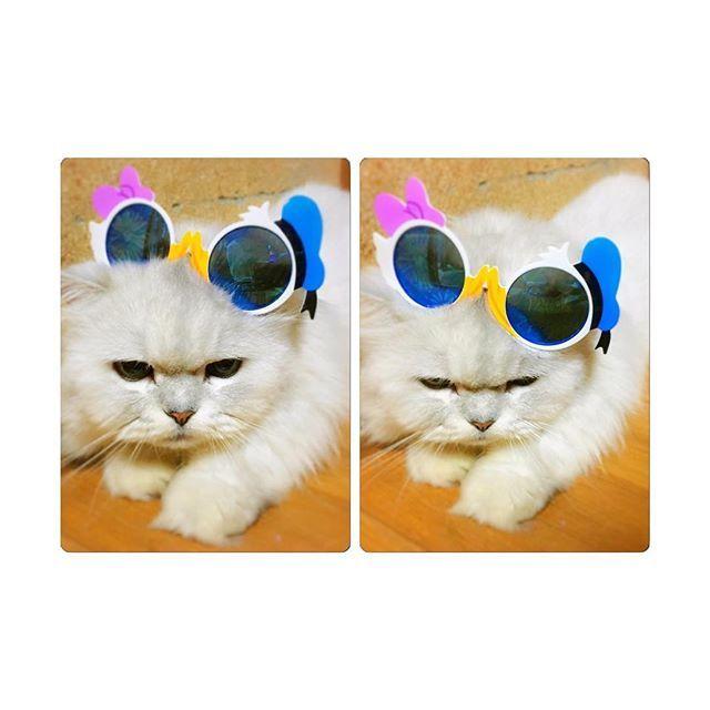 ハロウィンディズニー行きたいいいいい🙏🏻❤️#愛猫 #チンチラシルバー #無理矢理 #サングラス着用 #愛おしい #いつでもまったり #写真の撮りやすさ #にじゅうまる