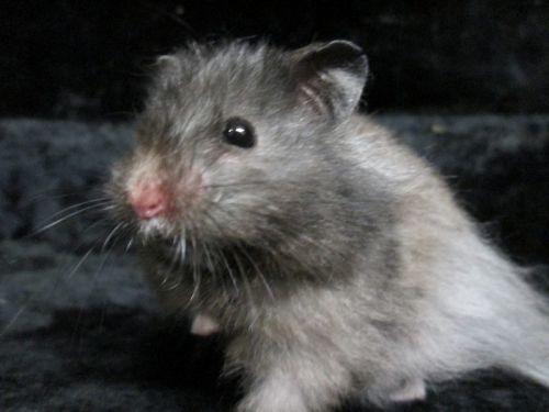 Baraka Type : Hamster Sexe : Mâle Age : Junior Couleur : Noir avec marque blanche Taille : Petit Lieu : Loiret - 45 (Centre)  Refuge : ACPA Loiret(Loiret) Orléans Tél : 0782845000        Baraka est un adorable hamster Syrien aux poils longs.