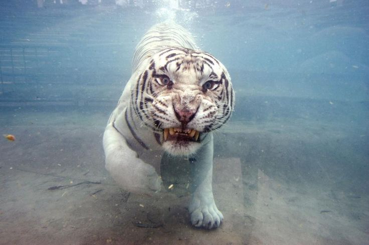 Odin, a white Bengal Tiger swims underwater at Six Flags in California