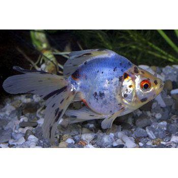 15 best images about fancy goldfish on pinterest cap d for Petco koi fish