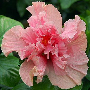 1000 images about hibiscus on pinterest sun flower and. Black Bedroom Furniture Sets. Home Design Ideas