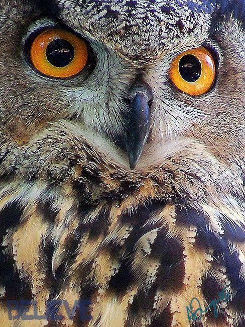 Eurasian Eagle Owl - V by ~JustBlieve on deviantART (photography,owl,bird,eagle owl)