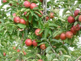 Malus Domestica Jan Steen, Appelboom http://pratec.nl/product-categorie/bomen/?filtering=1&filter_naam=242 De vruchten zijn geschikt als handappel, bewaarappel en als moesappel. De Jan Steen is een ras afkomstig uit Nederland dat te vergelijken valt met de sterappel maar roder gekleurd is.